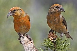 265px-Red_Crossbills_(Male)